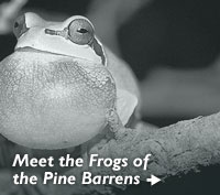 Meet the Frogs of the Pine Barrens